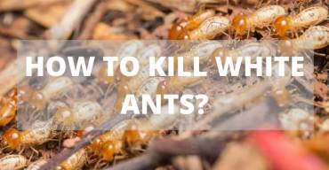 How to Kill White Ants?