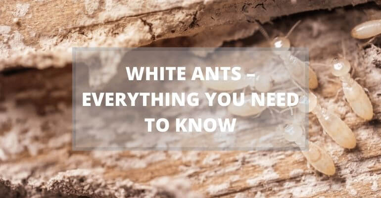 White Ants – Everything You Need To Know