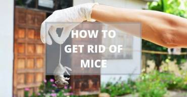 Can Pest Control Get Rid of Mice?