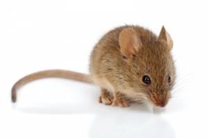 rodent removal melbourne